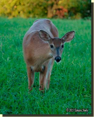 A brown-eyed whitetail doe looks straight on.