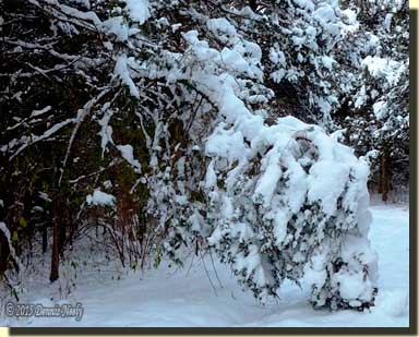 A heavy snow bends a young cedar to the ground.