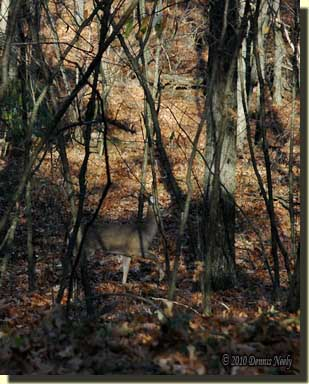 A white-tailed doe standing in the forest's shadows.