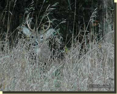 A nice white-tailed buck resting in prairie grass.