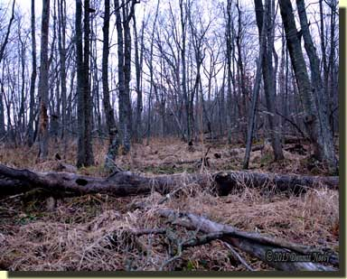 The tangled cover of the River Raisin's bottomland hid a well-used deer trail.