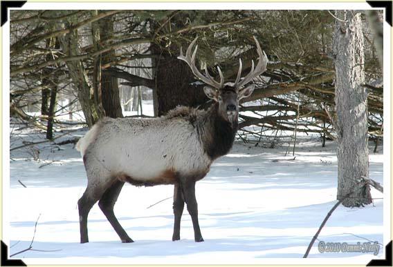 A 6 by 6 bull elk in a snowy pine grove.