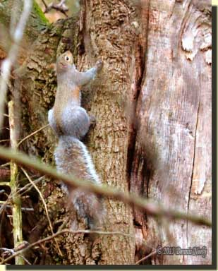 A gray squirrel climbing on a scarred oak's trunk