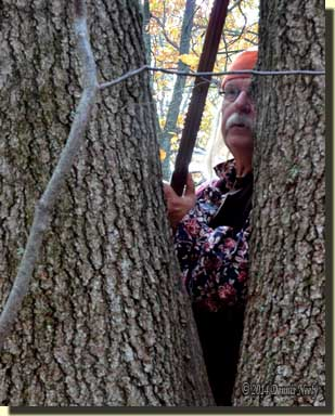 A woodsman watches from behind a forked red oak.