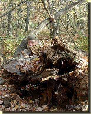 A traditional woodsman looking over a fallen oak's rotted roots.