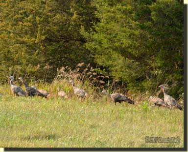 A flock of young turkeys stepped from the deep grass.