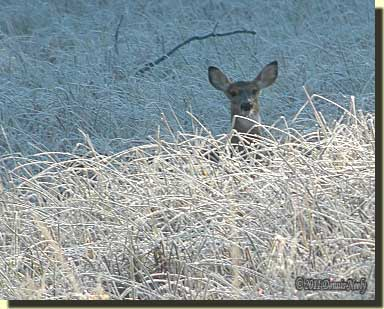 A white-tailed deer's head peers over frosted sedge grass.