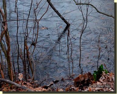 Black ice on the huckleberry swamp.