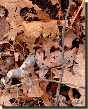 A three-point shed antler hidden under oak leaves.