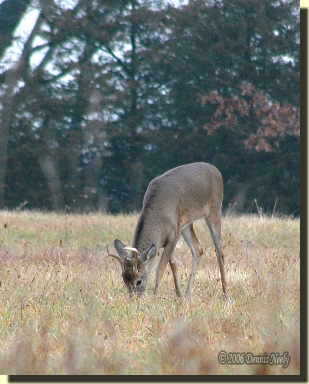 A fork horn buck browses, head down and at ease.