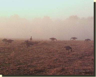 A traditional woodsman hidden under a pile of soybean fodder in the midst of a layout of goose decoys.